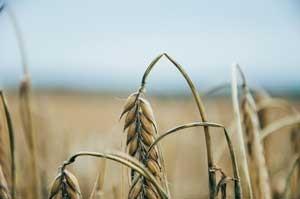 Du blé qui pousse sans gluten, really ? / 4