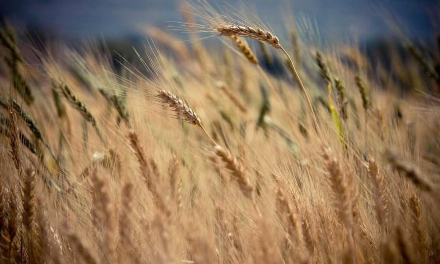 Du blé qui pousse sans gluten, really ? / 2
