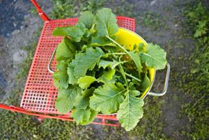 Brocoli-rave, le nouveau légume chouchou /3