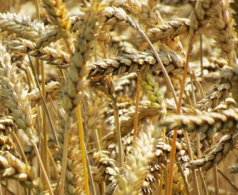 Dextrose, glucose, amidon de blé peut-on en manger ? ©Ewan Van Sant