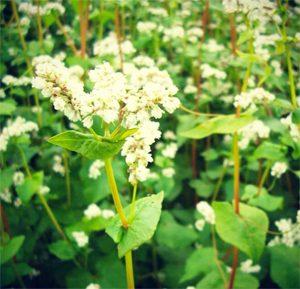 Une belle plante ! © L'Atelier Sarrasin, biscuits 100% sans gluten et bio