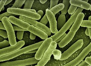 Les bactéries du microbiote intestinal ©Géralt