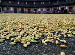 Des graines de millet ©M T
