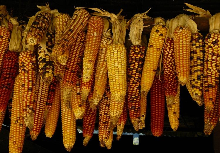 Y a-t-il du gluten dans le maïs et le riz ? ©Roderico Y Diaz
