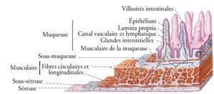 Le fameux épithélium sur les villosités de l'intestin - Où en est la recherche sur la sensibilité au gluten ?