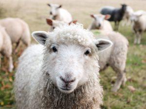 Y a-t-il du gluten dans la viande d'un animal nourri au blé ? C'est sans gluten ! Je suis sans gluten ! ©Sam Carter