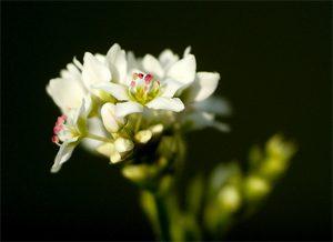 Est-ce qu'il y a du gluten dans le blé noir ?! La fleur de sarrasin ©ConiferConifer
