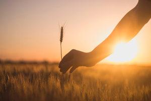 Du blé pauvre en gluten : de nouveaux espoirs - Du blé pauvre en gluten ? ©Milan Popovic