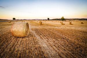 Du blé pauvre en gluten : de nouveaux espoirs - De nouvelles perspectives ? ©Peter Kleinau