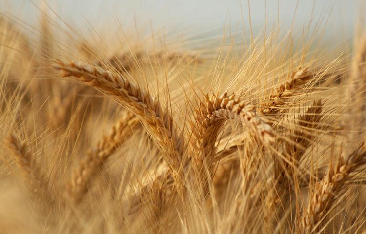 Est-ce que le triticale est sans gluten ? - Le triticale ! ©Hétérosis59