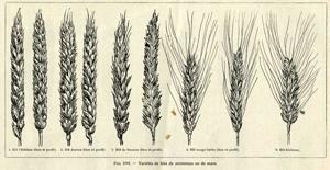 Les blés anciens sont-ils forcément plus digestes ?