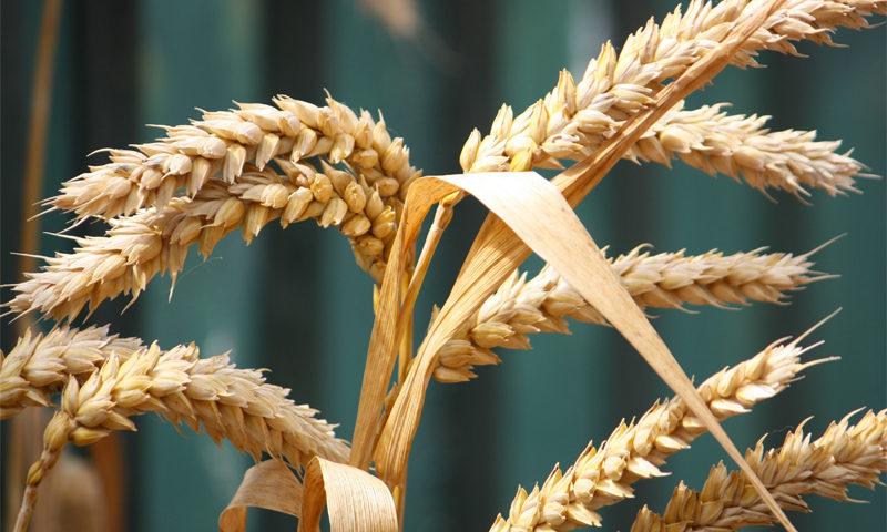 Les blés anciens sont-ils forcément plus digestes ? ©Michael Callaghan